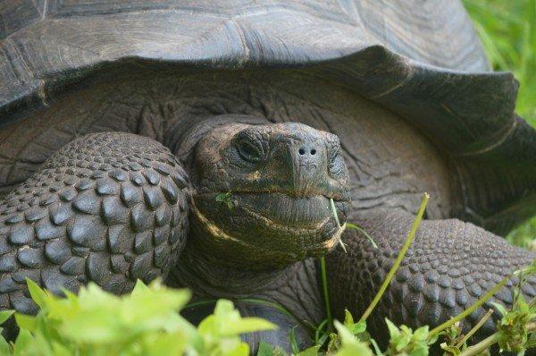 Yeni keşfedilmiş bir kaplumbağa türü: Doğu Santa Cruz Kaplumbağası