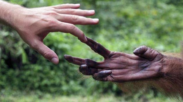 şempanze eli