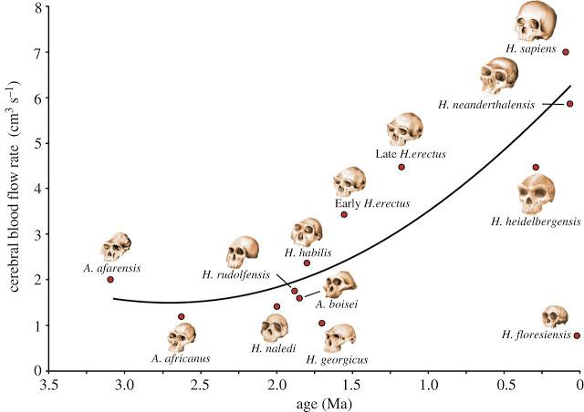 12 insanımsı türde jeolojik yaşa göre beyin kan akım hızı [Kaynak: Royal Society Open Science]