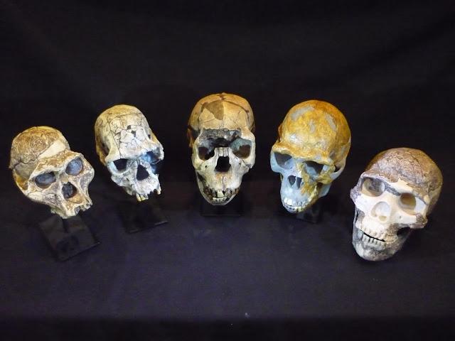 Kafatasları. Soldan sağa: Australopitekus afarensis, Homo habilis, Homo ergaster, Homo erectus ve Homo neanderthalensis [Fotoğraf:  Roger Seymour ,South Australian Müzesi.]