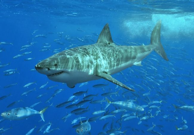 Büyük Beyaz Köpekbalıkları – Jaws filminde yer almışlardır
