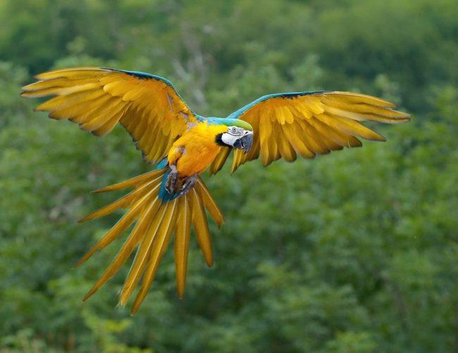 mavi-sari-macaw