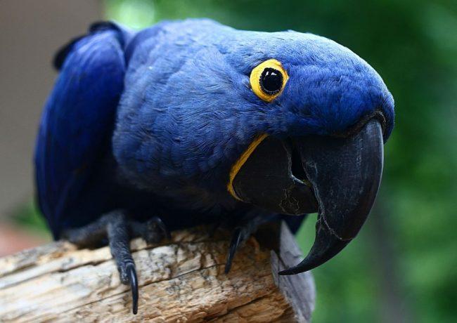 sumbul-papagani