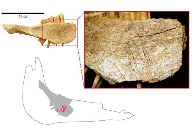 Mağara 2 den çıkan bu atın alt çenesi, dilin yüzeyinde bulunan birtakım kesik izlerini gösteriyor. Bu kesiklerden hayvanların dilinin taş bir aletle kesildiğini anlamak mümkün.